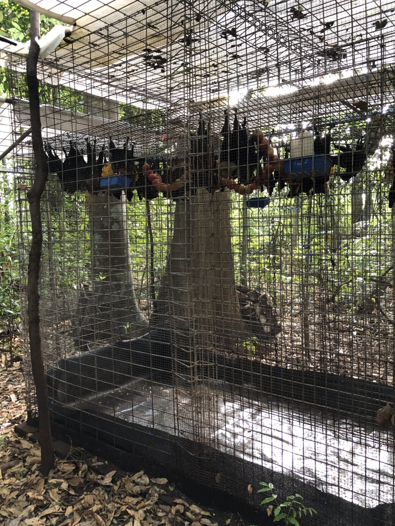 Releasing orphaned flying foxes using a cage for rolling soft release.