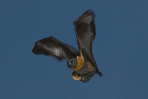 all flying foxes carry their young until they are too heavy to carry