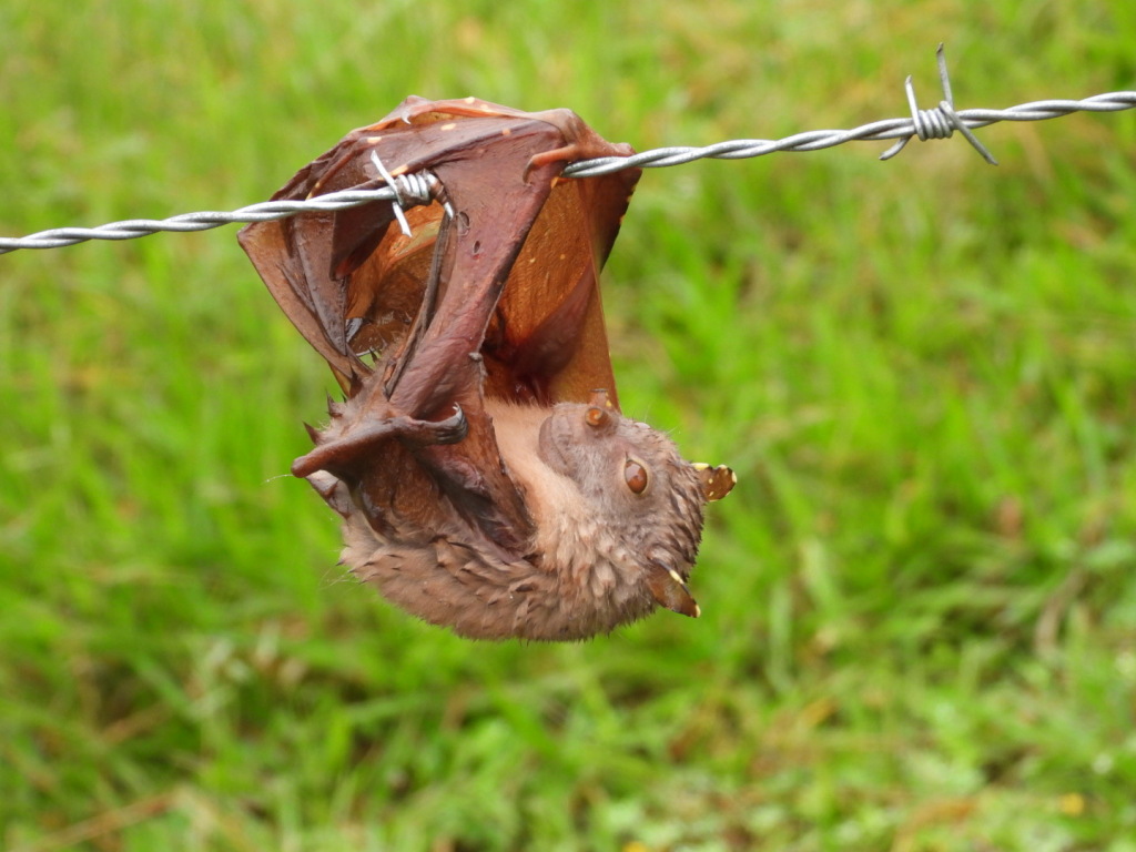 tube-nosed fruitbat on barbed wire fence