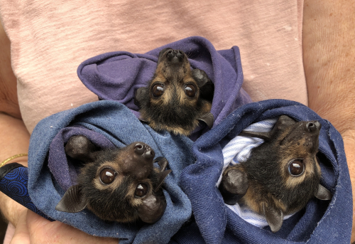 adopt_spectacled flying fox pups